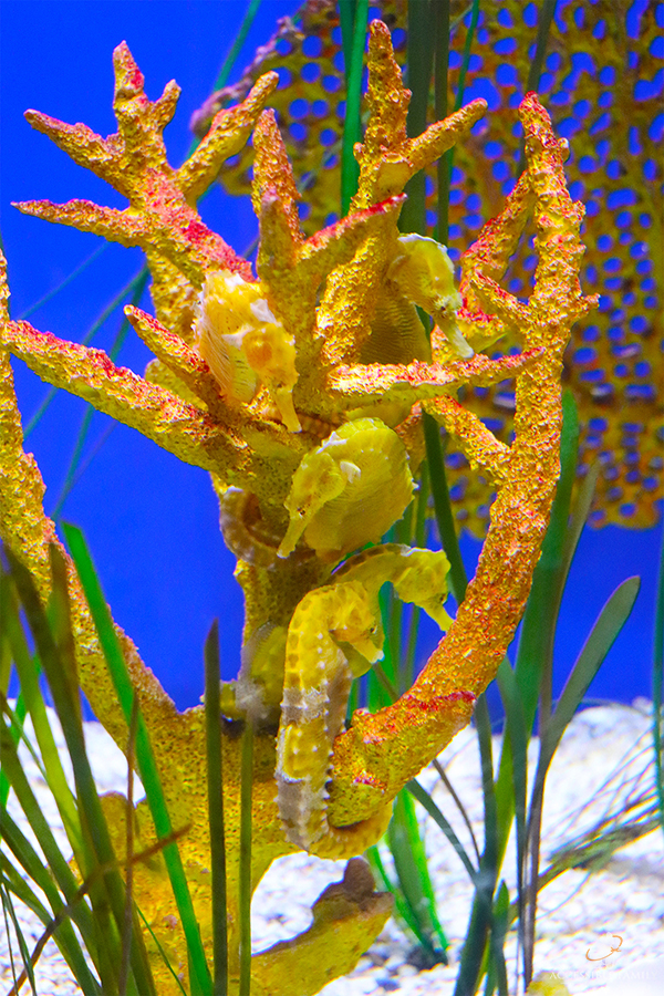 Image is a close up of four yellow seahorses hanging on coral at the Florida Aquarium