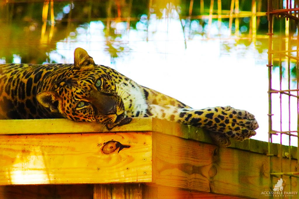 Image is a close up head shot of a jaguar at the Big Cat Rescue laying on a wood platform.