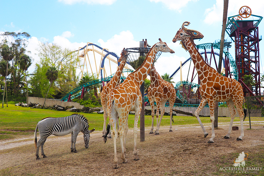 Image is of four giraffes and a zebra eating at Busch Gardens Tampa Bay. Amusement park rides can be seen in the distance behind the animals.