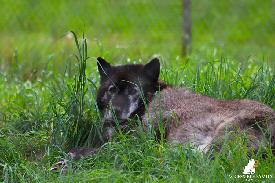 A black and grey wolf is laying in the green grass looking directly into the camera at Wolf Haven International in Tenino, WA